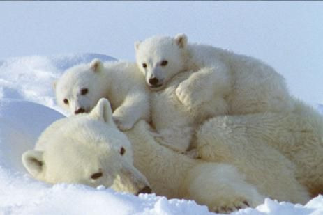 Ours blanc - Animaux pole nord ...